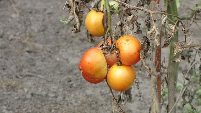 tomatoes-946377_640